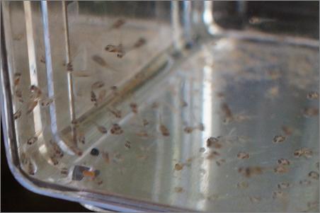 ジャーマンラミレジィ 稚魚