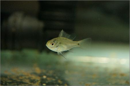 ジャーマン&コバルトブルーラミレジィ 稚魚